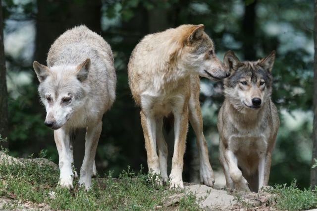 Стая волков нападает на собак в «Смоленском поозерье»