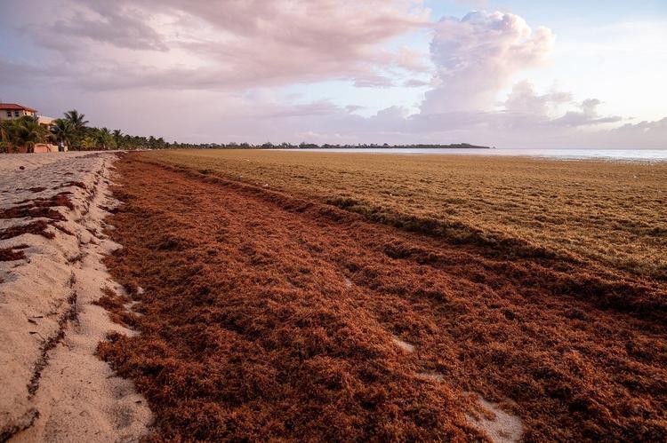 Пляжи мексиканского Канкуна завалило тоннами саргассовых водорослей